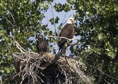 """Terry Stevens/Courtesy photo<p> This bald eagle is taking care of her eaglet all by herself along the Salt River, prompting state officials to dub her """"Super Mom."""""""