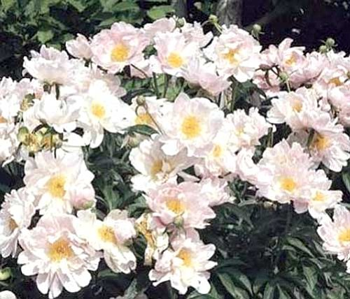 Ken Lain/Courtesy photo<p> The Sea Shell Peony has highly fragrant, luminous rich pink blossoms with large orange centers that open each spring.