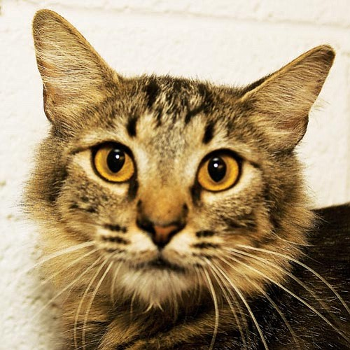 Michael Herrick/Courtesy photo<p> This is Sadie, a 1-year-old spayed female feline. If you would like to meet Sadie or any of our other great pets, please come by the shelter or one of our adoption locations. You can call 445-2666 for more information.
