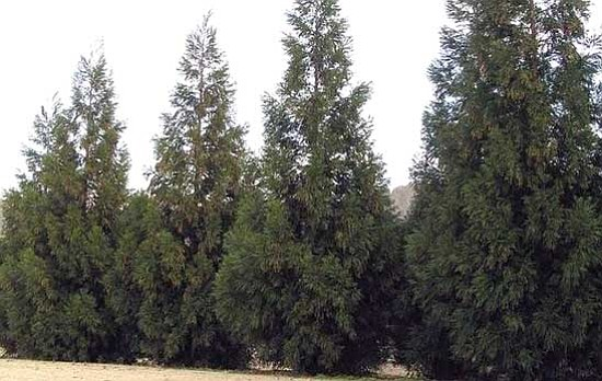 "Ken Lain/Courtesy photo<br> A ""living wall"" of huge Arizona or Leyland cypress (pictured), deodar cedar, Austrian or Scotch pine is perfect for camouflaging or drawing the eye away from a neighbor's motorhome, garage or mess."