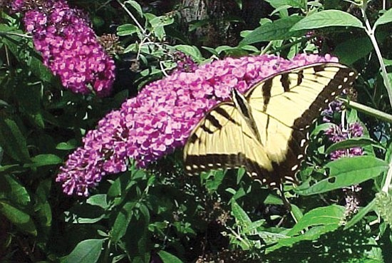 Ken Lain/Courtesy photo<p> Butterfly bushes are sure to attract their namesake.