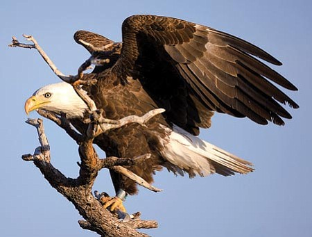 Chris Darakis/Courtesy photo<br> The Arizona Game and Fish Department reported this week that the state celebrated the second-best year on record for the number of bald eagle fledglings that took to Arizona's skies in 2009. The hope is that those fledglings will become healthy adults, like the one shown here.