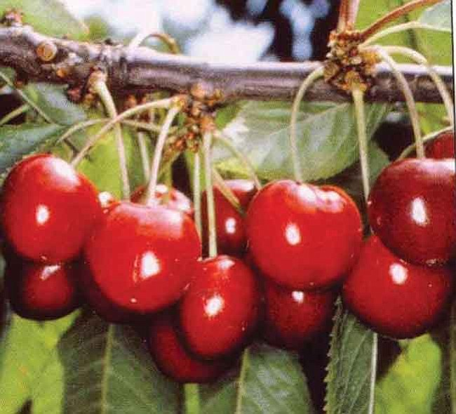 Courtesy photo<br> Cherry trees are well-suited for the local terrain, as are apple, pear, peach, nectarine, plum, persimmons, apricot and fig trees.