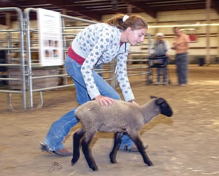 Les Stukenberg, file/The Daily Courier<br> Emily Stevens of the Chino Valley Breakaway Latigos 4-H Club herds one of her sheep into the pen on day one of the 2008 Yavapai County Fair.