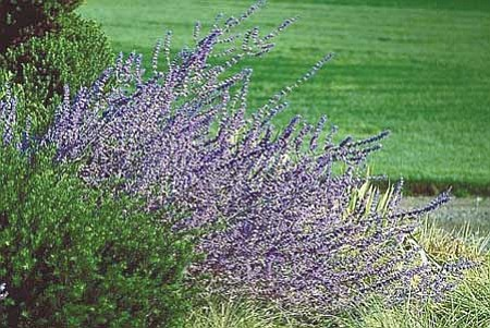 Courtesy<br>With its hearty blue flowers, Russian sage is at its best this time of year.
