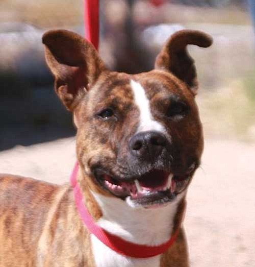 Dawn Gonzales/Courtesy photo<p> This is Sabre, a four-year-old spayed female Staffordshire terrier mix. Sabre was surrendered to the shelter when her owners moved. She is house-trained and a very sweet girl. If you would like to meet Sabre, please come by the shelter or one of our adoption locations. You can call 445-2666 for more information.