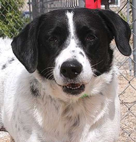 Dawn Gonzales/Courtesy photo<p> This is Blue, a two-year-old spayed female cattle dog mix. She gets along great with other dogs, is happy-go-lucky and really enjoys her walks and spending time with people. If you would like to meet Blue or any of our other great pets, please come by the shelter or one of our adoption locations. You can call 445-2666 for more information.