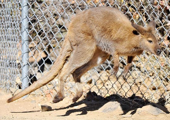 Matt Hinshaw/The Daily Courier<p> James, one of two new wallaby residents at the Heritage Park Zoological Sanctuary, hops around his enclosure Thursday morning in Prescott.