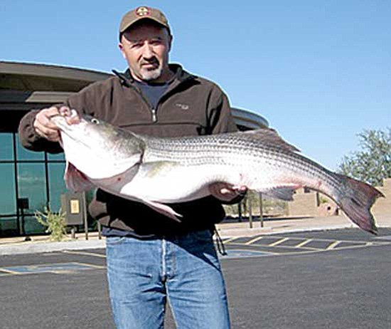 Angler snares state record striper at lake pleasant the for Az game fish