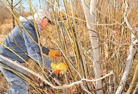 At left, George Sheats cuts a tree limb to use as a sapling.