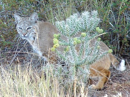 Courtesy photo<br> Cathy Webb took this photo of a bobcat hunting in her backyard in the Blooming Hills Estates subdivision next to the Prescott Lakes subdivision in September.