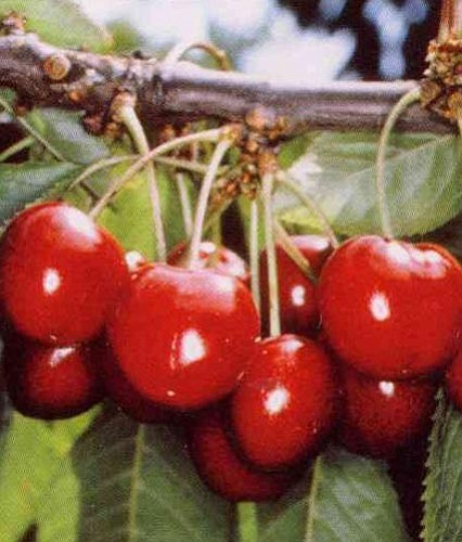 Courtesy photo<p> Stella cherry trees are great-looking and yield big, bold and juicy fruit.