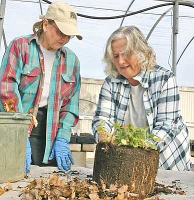 Salina Sialega/<br>Special to the Courier<br><br/>Gail Sime, right, and Ellen Plaugher prepare a strawberry plant for transplanting for the Harvest 10 food program.
