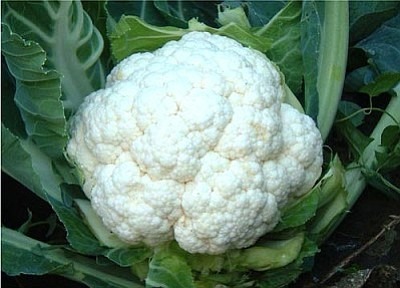 Courtesy photo<br/>Cool-season vegetables include those grown for consumption of their stems or leaves, like cauliflower.<br/>