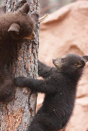 Ryan Williams/Courtesy<br> Kona and Cocoa, twin 5-month-old cubs, cavort in the walk-through portion of Bearizona.