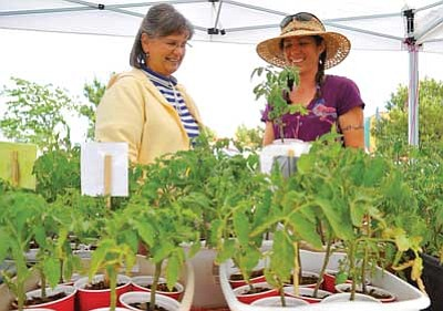 Matt Hinshaw/The Daily Courier<br>Sunshine Reilly owner of Burnin' Daylight Farm in Chino Valley, talks with Jean LeFever about her tomato plants Tuesday afternoon during the first day of the Prescott Valley Farmers Market.