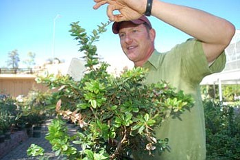 Lisa Irish/The Daily Courier<br> Ken Lain, owner of Watters Garden Center, examines a barberry bush, a good example of hostile vegetation that discourages people from coming close because of its sharp leaves and thorns.