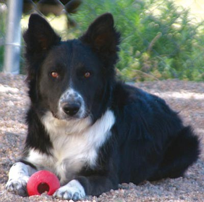 Yavapai Humane Society/Courtesy photo<br> This is Atticus, a two-year-old border collie who's already been neutered and is available for adoption today!  Visit www.yavapaihumane.org to see photos of all our available animals. For more information, call 445-2666.