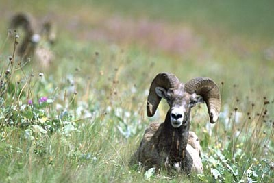 U.S. Fish & Wildlife Service/Courtesy photo<br> Arizona Game and Fish officials are offering a reward for information relating to an individual or individuals they think were involved in the illegal killing of a Rocky Mountain bighorn ram, similar to the bighorn sheep pictured here, in eastern Arizona over the Fourth of July weekend.