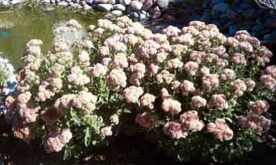 Courtesy photo<br>Autumn Joy sedum is famous for its maintenance-free colors through fall.