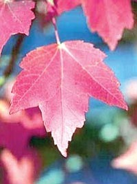 Ken Lain/Courtesy photo<br> Red maples are just coming into their fall color at your favorite garden center.