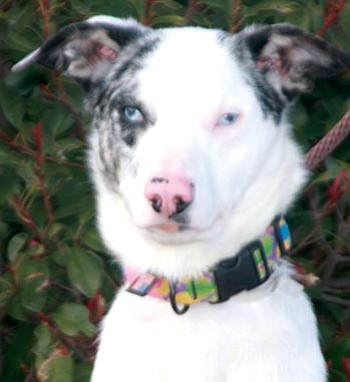 Dawn Gonzales/Courtesy photo<br> When Hiccup, a 2-year-old Aussie, was rescued by the Yavapai Humane Society, he was seriously emaciated. YHS employee Jed Garasha hand-fed Hiccup back to health, and today he is ready for adoption.