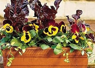 Courtesy photo<br>Pansies will bloom in the snow.