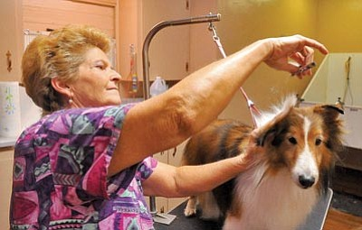 Matt Hinshaw/The Daily Courier<br> Vicki Wendt, owner of The Blue Collar Custom Dog Grooming, trims the hair of Freeway, a Shetland sheepdog, Wednesday at her shop in Dewey-Humboldt.
