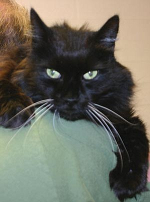<br /><br /><!-- 1upcrlf2 --><br /><br /><!-- 1upcrlf2 -->Dawn Gonzales/Courtesy photo<br /><br /><!-- 1upcrlf2 -->Pepper is a senior neutered domestic Bombay cat surrendered because his human died. Pepper is very sweet with many years of love to give. He loves to be groomed; a quiet home would make him very happy. All adoption fees waived for a senior citizen as part of YHS's Seniors for Seniors program.