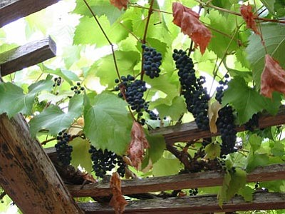 """Courtesy photo<br>Ken Lain shares a technique for growing grapes that """"works every time"""" in his column below."""