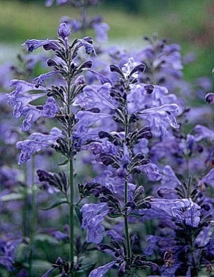 "Courtesy photo<br>June is ""Perennial Month,"" when flowers on perennials like this catmint look their best."