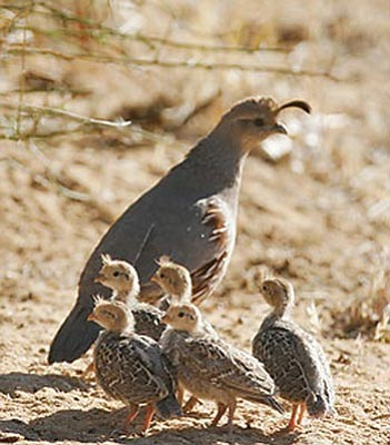 Column Save Baby Quail By Keeping Cats Indoors The Daily Courier