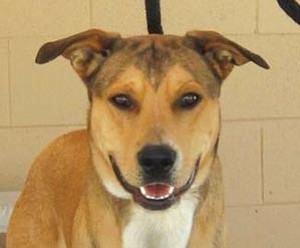 """Lauren Durham/Courtesy photo<br> Clinton is a 1-year-old male shepherd mix eligible for YHS's July campaign, """"Pick Your Price."""""""