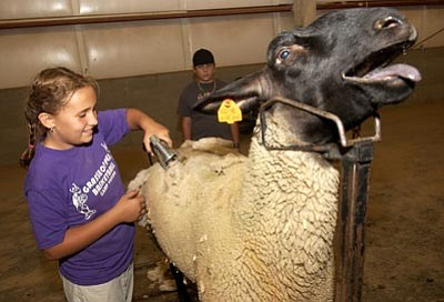 "The Daily Courier/file photo<br>  Sidney Gottsponer of Camp Verde shears ""Mudd"" at a past Yavapai County Fair event."