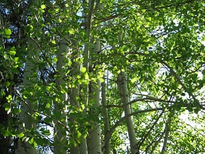 Courtesy photo<br>Aspens are the perfect trees to shade a west-facing wall or patio.