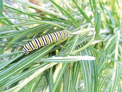Gail Morris/Courtesy photo<br> A monarch caterpillar crawls along milkweed.