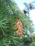 Mystery Plant Hint: Not a true fir.  Its cones hang down and have a conspicuous bract that is quite distinctive.