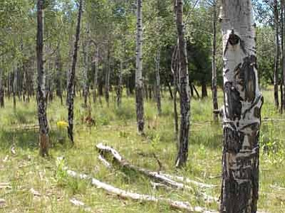 Kaibab National Forest/Courtesy photo<br>Kaibab National Forest officials hope fencing will prevent aspen damage like this.