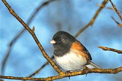 Courtesy photo<br>Dark-eyed juncos are among the bird species making their way to Prescott for the winter.