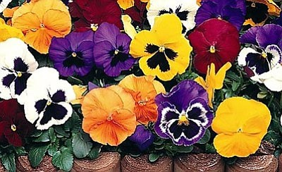 Courtesy photo<br>As other flowers fade, gorgeous delta pansies bring their special sparkle to the landscape.