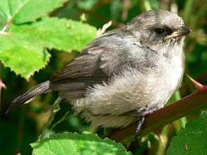 """Courtesy photo<br> That """"long-tailed ball of fluff"""" in your yard is a bushtit."""