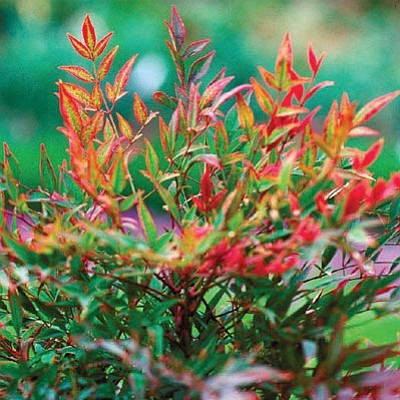 Courtesy photo<br>Sienna Sunrise nandina is famous for its winter-long intense fiery-red foliage.