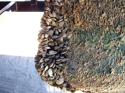 An example of Quagga mussels. Recent monitoring samples from Lake Powell reveal evidence of microscopic Quagga mussel larvae in the water. Photo/Arizona Game and Fish Department<br /><br /><!-- 1upcrlf2 -->