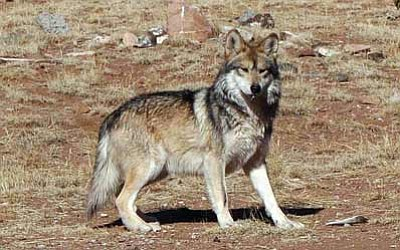 A Mexican gray wolf at the Sevilleta Wolf Management Facility in New Mexico in 2011. Efforts to reintroduce the animals in Arizona and New Mexico have met with limited success. There are currently just 58 in the wild in the two states. Photo/US Game and Fish