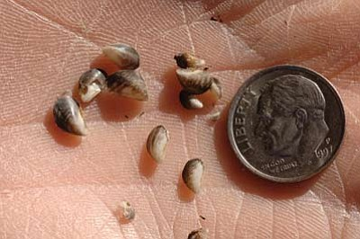 Quagga mussels are shown in this Arizona Game and Fish Department photo. Photo/George Andrejko, Arizona Game and Fish Department
