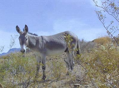 A wild burro north of Artillery Peak in Alamo Herd Management Area. More than half the nation's wild burros are in Arizona. Bureau of Land Management/Arizona office