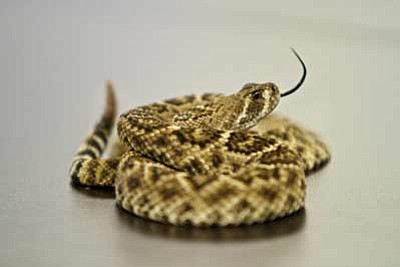 A juvenile rattlesnake coiled at the Phoenix Herpetological Society in Scottsdale. Peter Haden/Photo