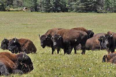Bisons forage on the North Rim. Photo/USFS