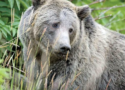 A grizzly bear in Yellowstone National Park. A conservation group has petitioned the Fish and Wildlife Service to consider reintroducing grizzlies in Arizona and other parts of the Southwest. Photo/Zach Hyman<br /><br /><!-- 1upcrlf2 -->