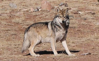 A Mexican gray wolf at the Sevilleta Wolf Management Facility in New Mexico in 2011. Photo/U.S. Fish and Wildlife Service